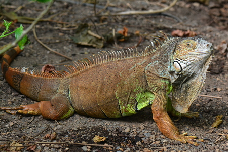 blooded: An iguana looks on at the disturbance in the gardens. Stock Photo