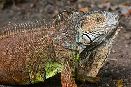 exotic pet: Iguana close up.An iguana poses for its photo. Stock Photo