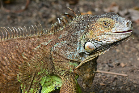 iguana: Iguana portrait.An iguana studies its surroundings.