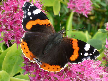 admiral: Red Admiral butterfly feasts on nectar in the gardens. Stock Photo