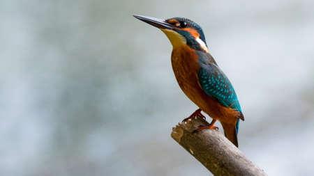 common kingfisher: Common kingfisher bird