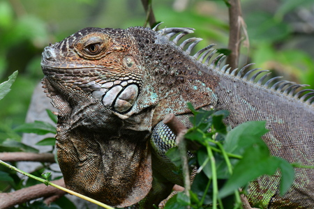 coldblooded: Iguana posing for its portrait