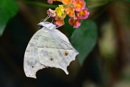 mother of pearl: Mother of Pearl butterfly on a flower. Stock Photo