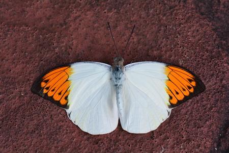 tip: Great Orange tip butterfly