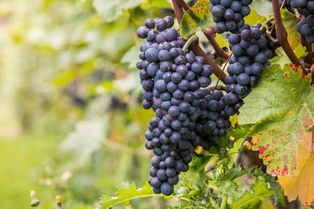 tannins: Plump juicy grapes hang from the vine. Stock Photo