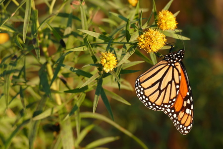 poisonous insect: Monarch butterfly lands on a flower in the butterfly gardens.