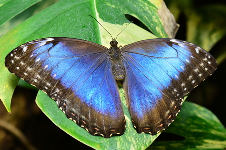 lepidoptera: Pretty blue morpho butterfly. Stock Photo