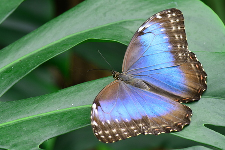 spreads: A blue morpho spreads its wings in the gardens Stock Photo