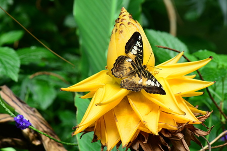 clipper: Brown clipper butterfly on a banana bloom