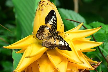 clipper: Brown clipper butterfly on a banana flower.