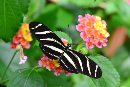 longwing: A pretty Zebra longwing lands in the gardens for a nectar lunch.