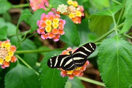 longwing: A pretty Zebra longwing butterfly lands in the gardens for a nectar lunch.