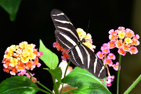 longwing: Zebra longwing butterfly lands at the nectar table in the gardens.
