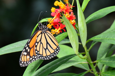 An Admiral butterfly lands on a flower in the gardens. Banco de Imagens