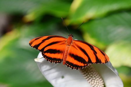 longwing: A Tiger longwing butterfly lands on a flower in the gardens. Stock Photo