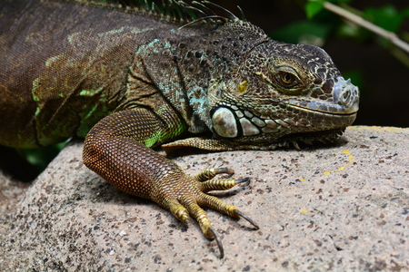 coldblooded: An iguana suns itself on the rocks for some energy.