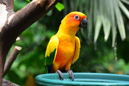 A sun conure waits for lunch. Stock Photo