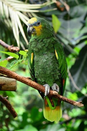 talons: Amazon orange tipped parrot