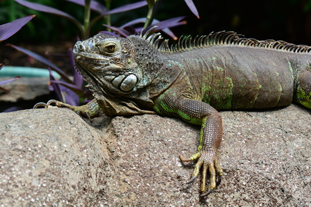 coldblooded: Iguana catching some rays