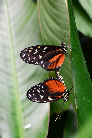 mating: Mating helicon butterflies