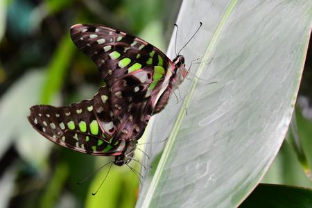 green jay: Mating Tailed Jay butterflies Foto de archivo