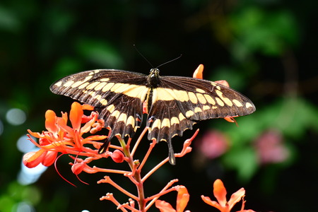 King Swallowtail butterfly lands in the gardens Banco de Imagens