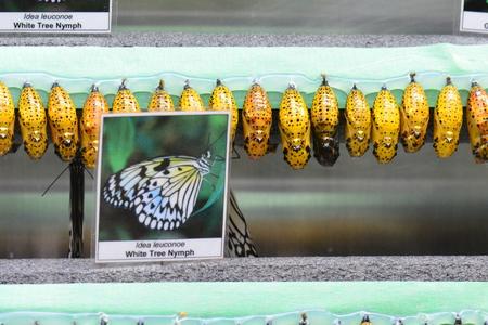 Butterfly cocoons Banco de Imagens
