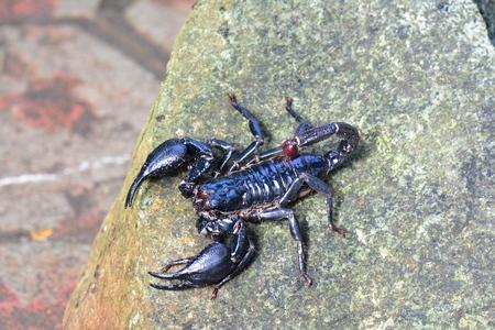 Scorpion on a rock Imagens