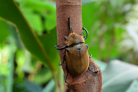 Elephant beetle Stock Photo
