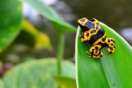 Poison dart frog on a plant leaf