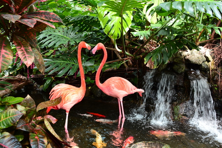Pink flamingos in the pond