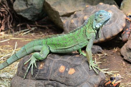 An iguana riding a tortoise bareback.