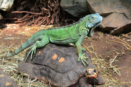 An iguana rides a tortoise bareback