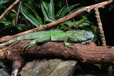 A green iguana poses for the camera in the gardens.
