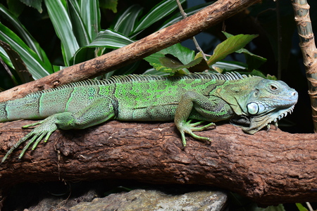 An iguana suns itself on a log in the jungle
