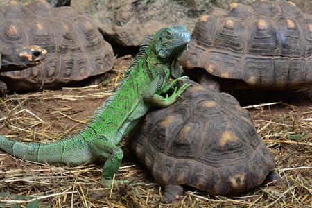 Green iguana posing with a tortoise