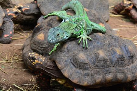 Green iguana riding a tortoise Stock Photo