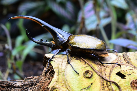 Worlds largest extant beetle the Hercules Beetle aka rhino beetle. Banco de Imagens - 94510401