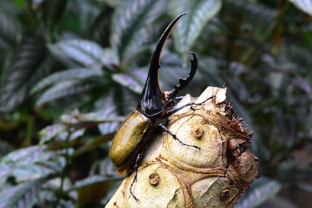Hercules beetle aka rhino beetle,worlds largest extant insect. Stock Photo