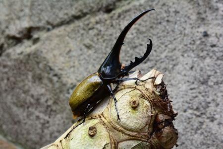 Hercules beetle aka rhino beetle on a log Stock Photo