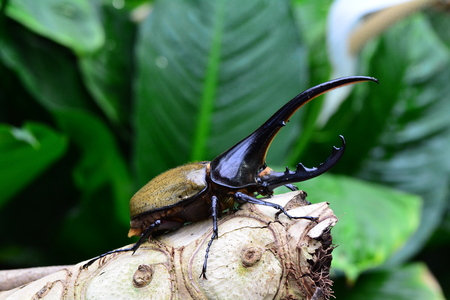 A Hercules beetle sits on a log in the gardens.