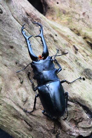 A stag beetle settles in its environment on a log