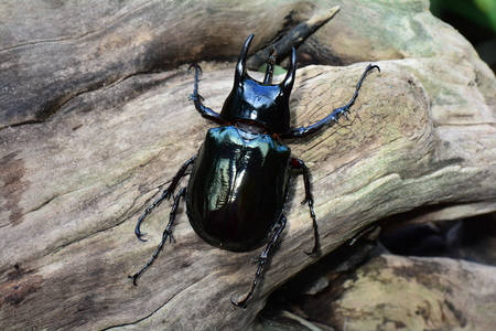 A female stag beetle sits on a log in the gardens.