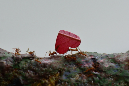 Leaf cutter ants on their journey with a heart shaped leaf. Banco de Imagens