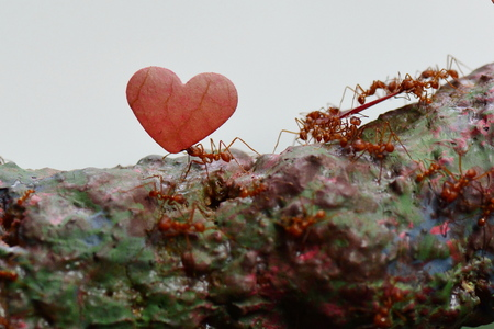 Leaf cutter ant carrying a heart shaped leaf on its journey.