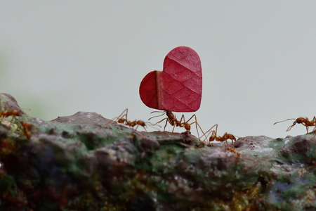 A leaf cutter ant carries a heart shaped leaf on its journey forward. Stock Photo
