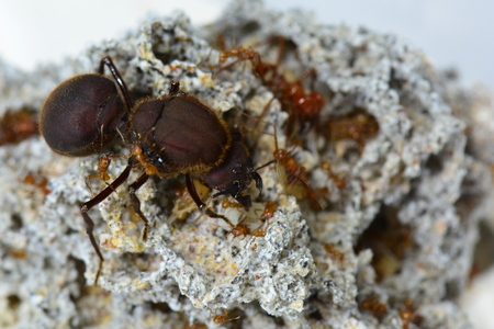 Queen leaf cutter ant and her soldiers.