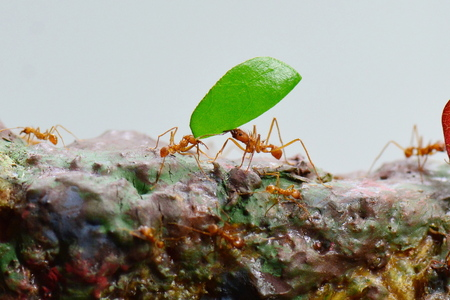 A leaf cutter ant carries a leaf along the pathway.