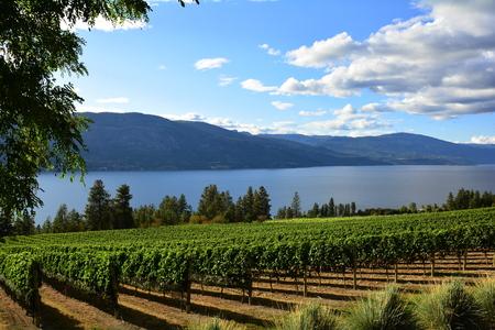 Vines and Vineyards of the Okanagan Valley at Kelowna
