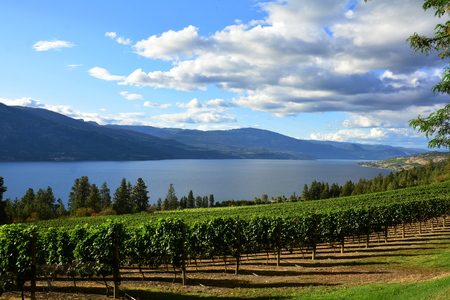 Vines and Vineyards of the Okanagan Valley at Kelowna